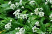Allium ursinum flos